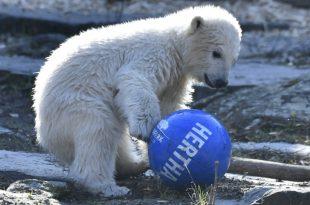 Hertha BSC ist Pate des Eisbärbabys
